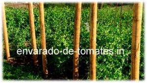 ENVARADO-DE-TOMATES.IN