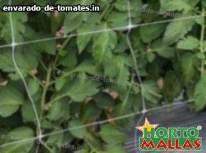 sistema vertical aplicado en cultivo de tomates