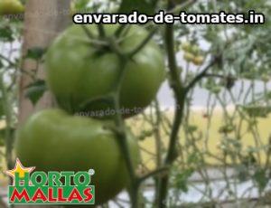 red de soporte entutorando cultivos de tomate